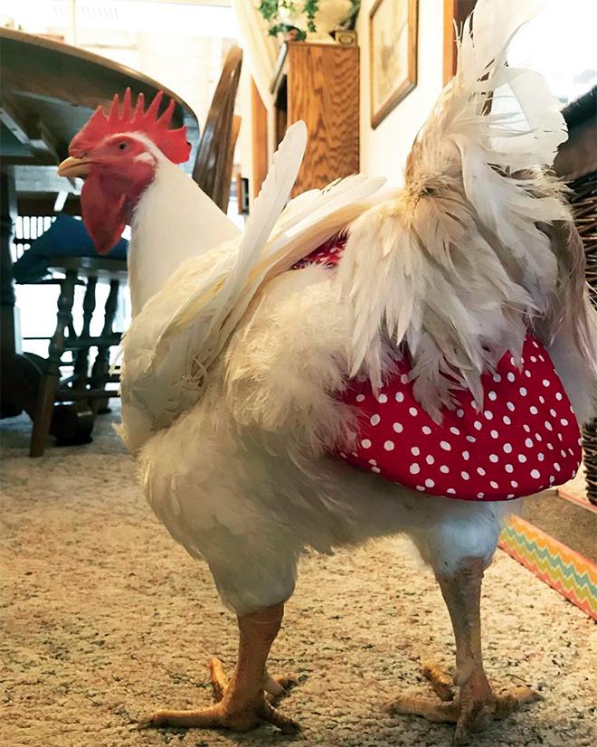 Chicken wearing diapers.