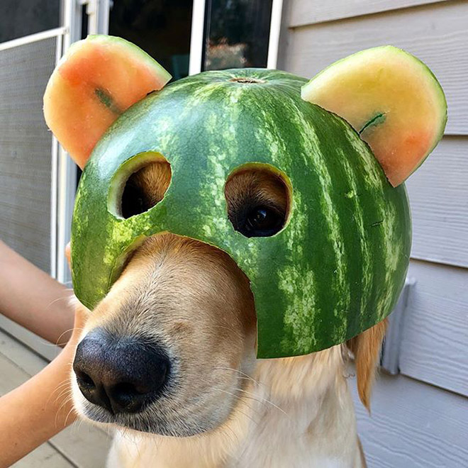 Watermelon helmet for your dog's protection.