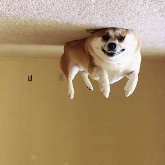 Balloon dog stuck to the ceiling.