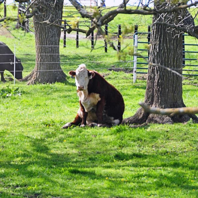 Awkwardly sitting cow.