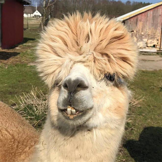 Alpacas With Incredible Hairstyles