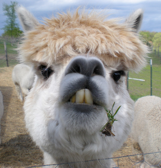 Alpacas have really classy hairstyles.