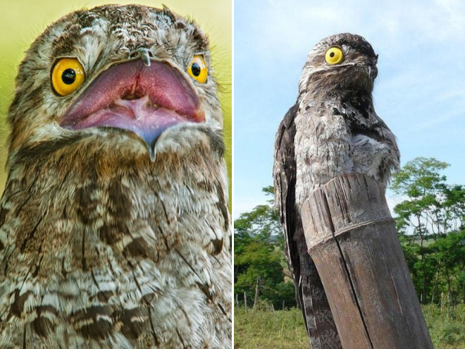 Potoo bird.
