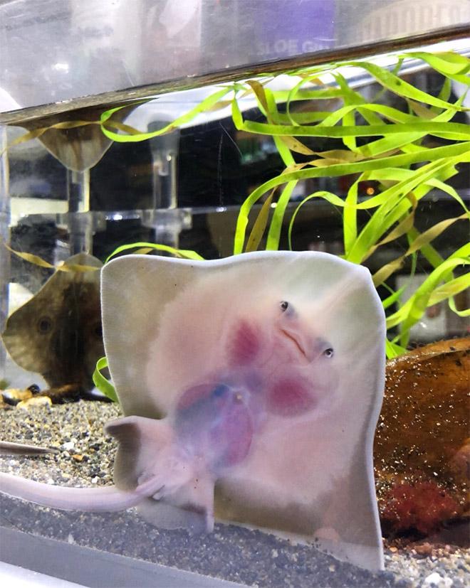 Baby stingrays look really weird.