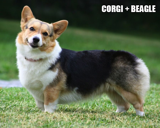 Corgi mixes are pretty funny.