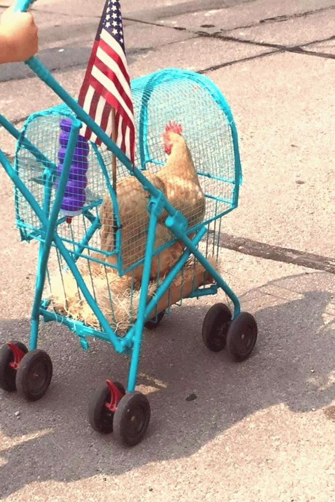 Chicken stroller.
