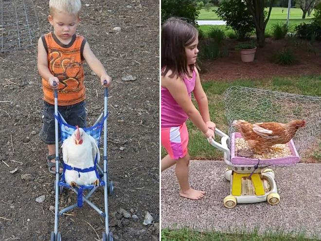 Chicken strollers.