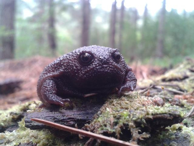 This rain frog is judging your poor life choices.